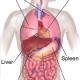 Abdominal Organs Anatomy 80x80 - پیشگیری از هپاتیت آ